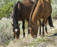 Pryor Mountain mustangs Stock Photos