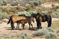 Pryor Mountain mustangs Royalty Free Stock Photography