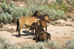 Pryor Mountain mustangs Stock Photography