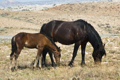 Pryor Mountain mustangs Royalty Free Stock Image