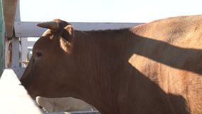 Przód gyr byk w corral z osobliwie krzywy rogami, długimi ucho i zbiory