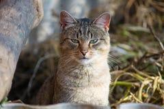 Prześladującego kot w przyczajeniu Obrazy Royalty Free
