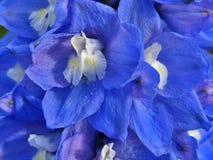 Prześwietny błękitny delphinium Zdjęcia Royalty Free