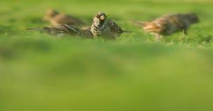 Przechodnia domesticus, ptaki Jordanowscy fotografia royalty free