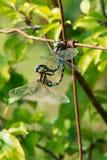 Przechylający cerowaczki Dragonfly - Aeshna constricta obrazy royalty free