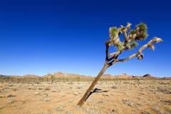 Przechylający Joshua drzewo Zdjęcia Stock