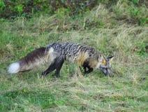 Przecinający Fox obraz royalty free