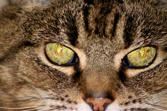 Przecinający kotów oczy Fotografia Stock