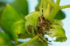 Przecinający pająk fotografia royalty free