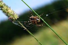 Przecinający pająk Zdjęcie Royalty Free