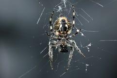 Przecinający pająk Obraz Royalty Free