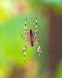 Przecinający pająk Obraz Stock