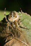 przecinający pająk Zdjęcie Stock