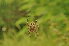 Przecinający pająk na sieci zdjęcie stock