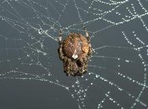 Przecinający pająk siedzi na jego pajęczynie zdjęcie royalty free