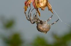 Przecinający pająk siedzi na jego pajęczynie zdjęcia stock
