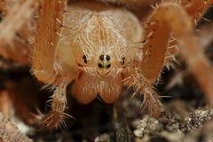 Przecinający pająka Araneus diadematus fotografia royalty free