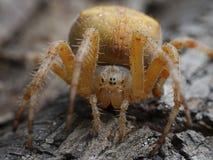 Przecinający pająka Araneus diadematus obrazy stock