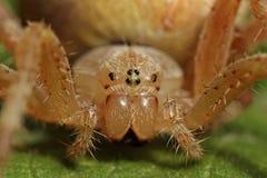 Przecinający pająka Araneus diadematus zdjęcie royalty free