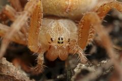 Przecinający pająka Araneus diadematus zdjęcia royalty free
