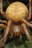 Przecinający pająka Araneus diadematus zdjęcie stock
