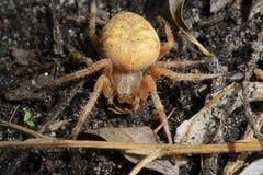 Przecinający pająka Araneus diadematus obraz royalty free
