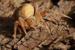 Przecinający pająka Araneus diadematus obraz stock