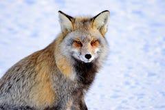 Przecinający Fox Fotografia Stock