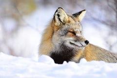 Przecinający Fox Obrazy Royalty Free