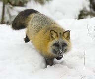 przecinający lis Fotografia Royalty Free