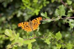 Przecinku motyl Zdjęcie Stock
