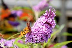 Przecinku motyl na buddleja kwiacie Zdjęcia Royalty Free