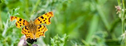 Przecinku motyl przy odpoczynkiem Zdjęcie Stock