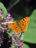 Przecinku motyla karmienie Obrazy Stock