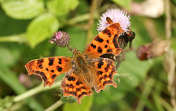 Przecinku motyla Polygonia album nectaring na osetu kwiacie Obrazy Stock