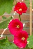 Przeciw ścianie trzy różowego hollyhocks Fotografia Royalty Free