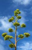 przeciw agawie także jako błękitny wieka kwiat znać rośliny nieba sukulent Obrazy Stock
