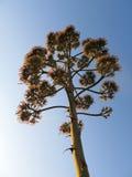 przeciw agawie także jako błękitny wieka kwiat znać rośliny nieba sukulent Zdjęcie Royalty Free