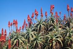 przeciw aloesu błękitny kwiatów rośliien niebu fotografia royalty free