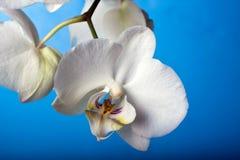 przeciw błękitny beautifuk orchidei Zdjęcie Stock