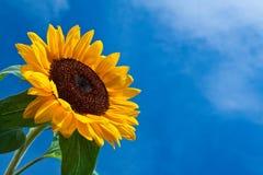 przeciw błękitny kwiatu nieba słońcu Obraz Royalty Free