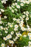 przeciw błękitny stokrotce kwitnie nieba kolor żółty Zdjęcie Stock