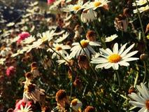 przeciw błękitny stokrotce kwitnie nieba kolor żółty Fotografia Royalty Free