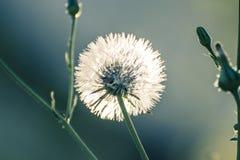 przeciw ciosów błękit zamkniętej kopii dandelion zmrokowi jeden sia nieba przestrzeń w górę biel wiatru Zdjęcia Royalty Free