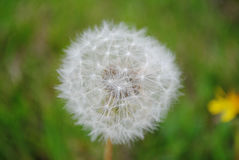przeciw ciosów błękit zamkniętej kopii dandelion zmrokowi jeden sia nieba przestrzeń w górę biel wiatru Zdjęcia Stock