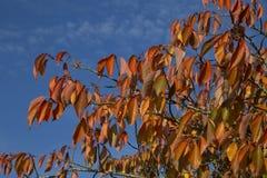 przeciw jesień błękitny liść niebu Fotografia Royalty Free