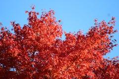przeciw jesień błękitny liść niebu Zdjęcie Royalty Free