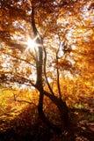 przeciw jesień zmierzchu drzewu Zdjęcie Royalty Free