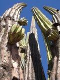 przeciw kaktusa błękitny niebu Fotografia Stock