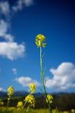 przeciw musztardzie profilujący niebo Zdjęcie Royalty Free